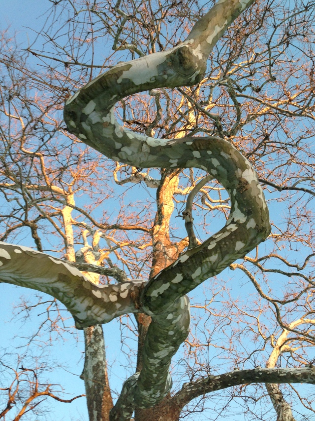 Chaos in Nature: Sycamore branch